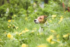 Giocando Jack Russell Terrier insegua lo sguardo dall'erba verde della molla e dai fiori gialli del dente di leone Fotografie Stock