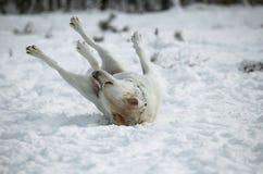 Giocando nella neve labrador Fotografie Stock