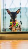 Giocattolo del pincher del cane dell'Asia Immagine Stock