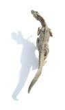 Giocattolo di allosauro di vista superiore su fondo bianco con ombra Fotografia Stock