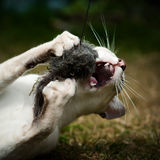 Giocattolo di cattura del gatto siamese Fotografia Stock Libera da Diritti