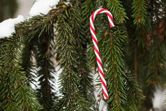 Giocattolo di natale del bastoncino di zucchero sul ramo di albero dell'abete Immagine Stock