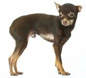Giocattolo-terrier russo Immagini Stock