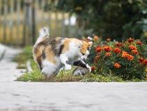 Giochi abili e fermi del gatto lanuginoso un topo grigio nel giardino Immagine Stock Libera da Diritti