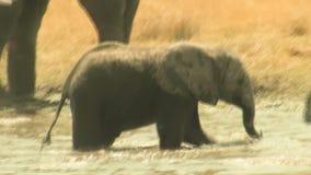 Giochi del bambino dell'elefante africano nell'acqua stock footage
