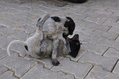 Giochi del fratello germano del cucciolo fotografia stock libera da diritti