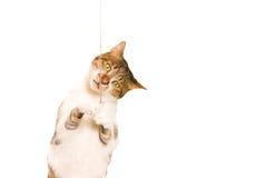 Giochi del gatto Fotografie Stock Libere da Diritti