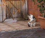 Giochi del gatto con il pesce prima del cibo Costantinopoli, Turchia immagini stock