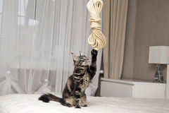 Giochi del procione lavatore di Maine con una corda Fotografie Stock Libere da Diritti