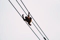 Giochi dell'orangutan Fotografia Stock