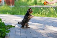 Giochi dell'Yorkshire terrier del cucciolo immagine stock