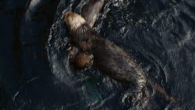 Giochi della lontra di mare in acqua archivi video