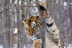 Giochi della tigre siberiana Fotografia Stock