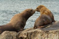 Giochi di adulazione dei leoni marini alla colonia di corvi nella baia di Russo, l'oceano Pacifico Kamchatka, Russia Fotografie Stock Libere da Diritti