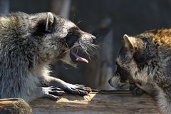 Giochi di amore dei raccoons Fotografia Stock