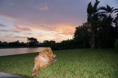 giochi di golden retriever nell'iarda Fotografia Stock Libera da Diritti