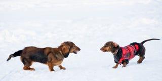 Giochi di inverno dei Dachshunds Immagine Stock Libera da Diritti