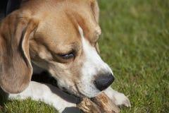 Giochi dolci del cane da lepre Immagini Stock Libere da Diritti
