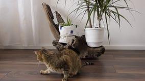 Giochi europei del gatto domestico a casa, una piccola tartaruga vicino archivi video