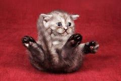 Giochi lanuginosi grigi del gattino Fotografia Stock Libera da Diritti