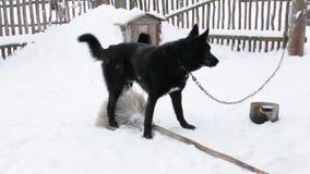 Giochi neri del cane di iarda nell'inverno stock footage