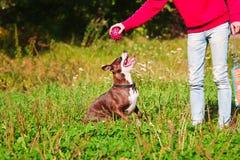 Giochi stafordshirsky del terrier del cane con il proprietario Fotografia Stock Libera da Diritti