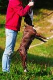 Giochi stafordshirsky del terrier del cane con il proprietario Fotografie Stock Libere da Diritti