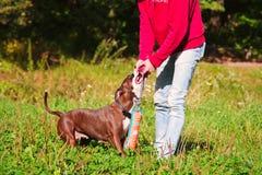 Giochi stafordshirsky del terrier del cane con il proprietario Immagini Stock Libere da Diritti