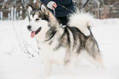 Gioco all'aperto in neve, stagione invernale del Malamute d'Alasca playful fotografie stock