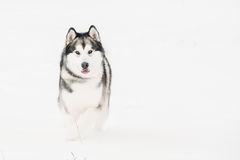 Gioco all'aperto in neve, stagione invernale del Malamute d'Alasca playful fotografia stock libera da diritti