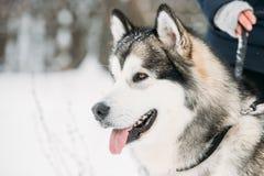 Gioco all'aperto in neve, stagione invernale del Malamute d'Alasca playful immagini stock libere da diritti
