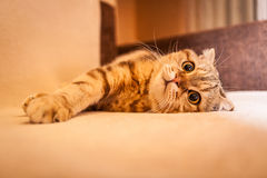 Gioco amabile del gatto del popolare dello Scottish Fotografia Stock Libera da Diritti