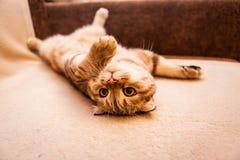 Gioco amabile del gatto del popolare dello Scottish Immagine Stock