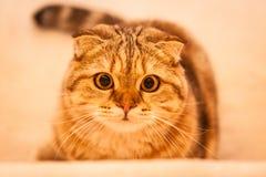 Gioco amabile del gatto del popolare dello Scottish Fotografie Stock Libere da Diritti