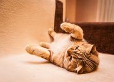 Gioco amabile del gatto del popolare dello Scottish Fotografia Stock