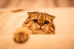 Gioco amabile del gatto del popolare dello Scottish Immagine Stock Libera da Diritti