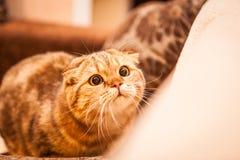 Gioco amabile del gatto del popolare dello Scottish Immagini Stock Libere da Diritti
