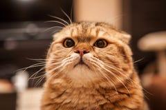 Gioco amabile del gatto del popolare dello Scottish Fotografie Stock
