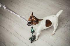 Gioco bianco e marrone del piccolo del cane terrier di Jack Russel con il colore Immagine Stock Libera da Diritti