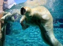 Gioco degli orsi polari Fotografie Stock