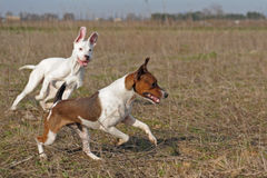 Gioco dei cani Immagine Stock Libera da Diritti