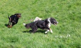 gioco dei cani Fotografie Stock Libere da Diritti