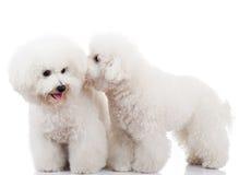 Gioco dei cani di cucciolo del frise di Bichon Fotografia Stock Libera da Diritti