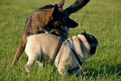 Gioco dei cani a vicenda Giovane carlino-cane Cuccioli allegri di confusione Cane aggressivo Addestramento dei cani Istruzione de fotografia stock