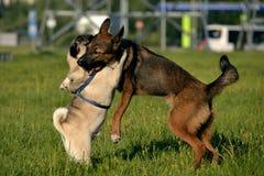 Gioco dei cani a vicenda Giovane carlino-cane Cuccioli allegri di confusione Cane aggressivo Addestramento dei cani Istruzione de fotografia stock libera da diritti