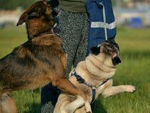 Gioco dei cani a vicenda Giovane carlino-cane Cuccioli allegri di confusione Cane aggressivo Addestramento dei cani Istruzione de immagini stock