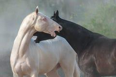 Gioco dei cavalli di Achal-teke Fotografia Stock