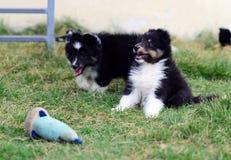 gioco dei cuccioli degli shelties Fotografia Stock Libera da Diritti