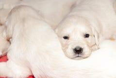 Gioco dei cuccioli di golden retriever Immagine Stock Libera da Diritti