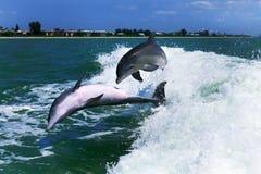 Gioco dei delfini Immagine Stock Libera da Diritti